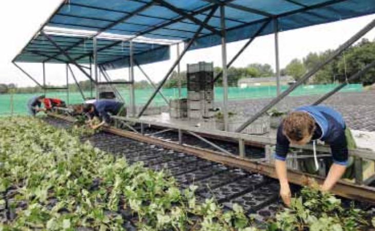 Trayplanten aardbei uit 'het magazijn'