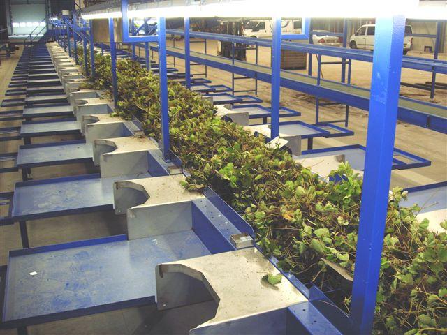 Aardbeienplanten sorteerlijn