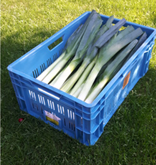 Cutting in water extends leeks' shelf life